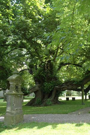 Die Jahrhunderte alte Linde auf dem Friedhof von Reelkirchen
